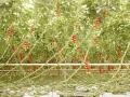 Tomatenrispen in Middenmeer, Niederlande