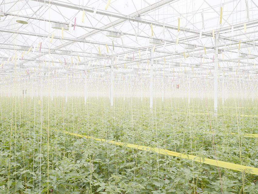 Tomatenplantage in Middenmeer, Niederlande
