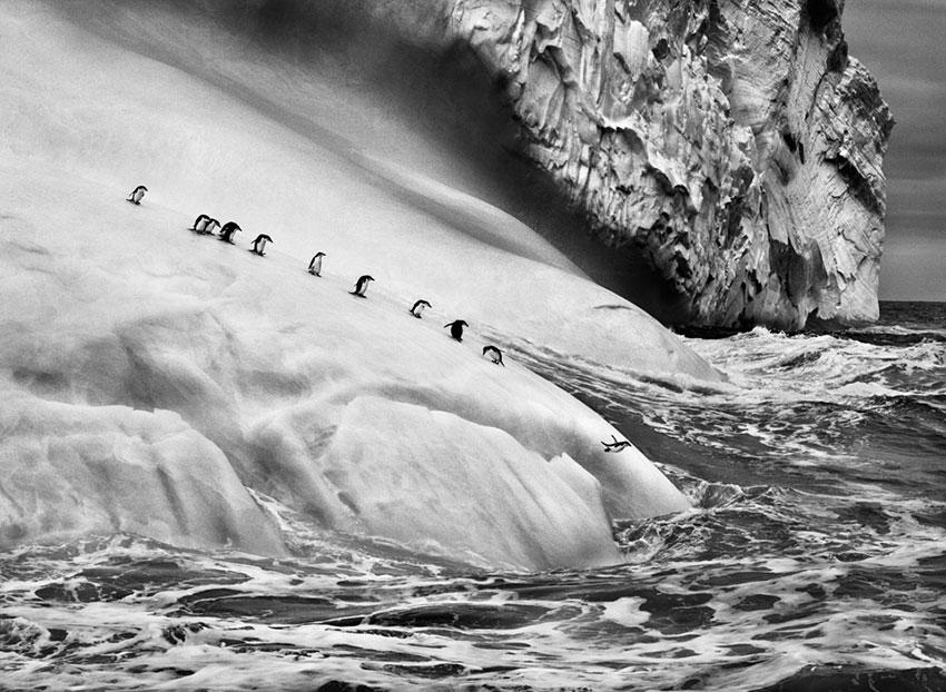 Chinstrap Pinguine (Pygoscelis antarctica) auf einem Eisberg zwischen den Inseln Zavodovski und Visokoi | Photographs by Sebastião SALGADO / Amazonas images