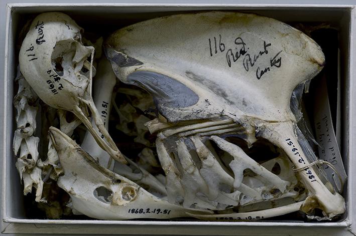 Skelett einer von Charles Darwin untersuchten Taube, Naturkundemuseum in Tring, Hertfordshire, England 2010 | © Annie Leibovitz. From »Pilgrimage« (Schirmer/Mosel 2011)