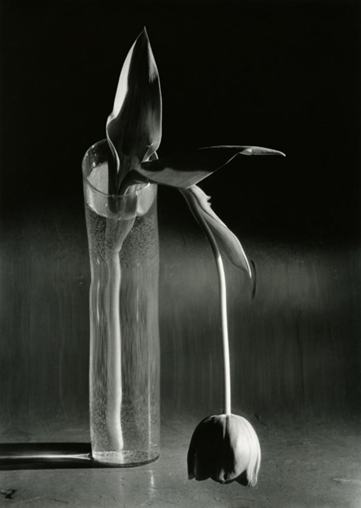 Melancholische Tulpe, New York, 1939   Silbergelatine-Abzug, Gedruckt ca. 1980, Courtesy Bruce Silverstein Gallery